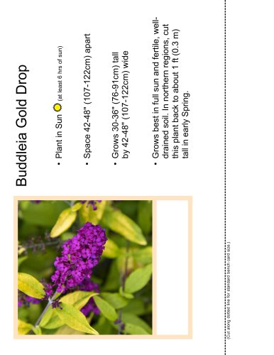 Buddleia Gold Drop