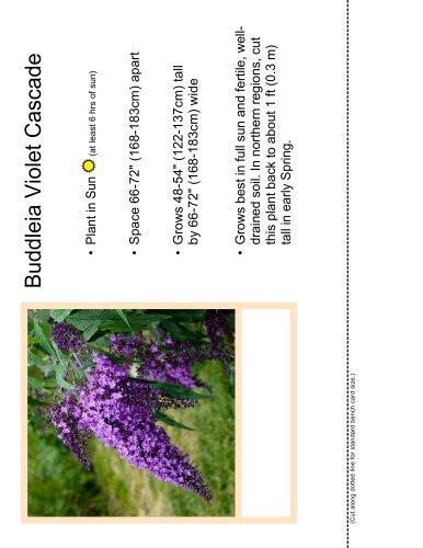 Buddleia Violet Cascade