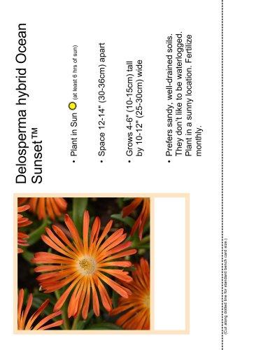 Delosperma hybrid Ocean Sunset™