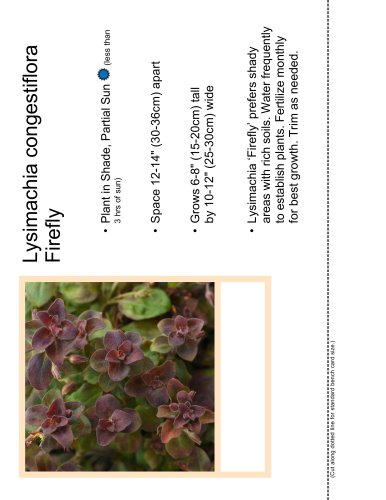 Lysimachia congestiflora Firefly