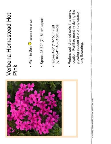 Verbena Homestead Hot Pink