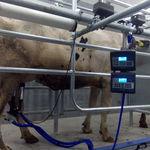 sala de ordenha para vacas